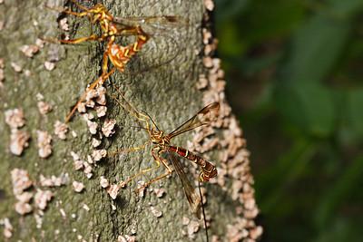 Female ichneumon wasps