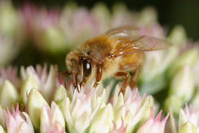 A honey bee (Apis mellifera) drinks nectar on a hot summer day.
