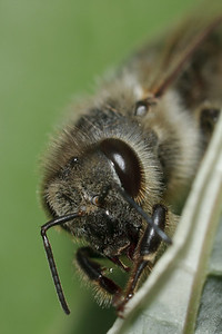 A honey bee (Apis mellifera) dries off after escaping from a large puddle.