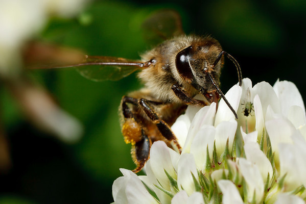 A honey bee, carrying a load of pollen in her scopa, visits a clover flower for a drink of nectar.
