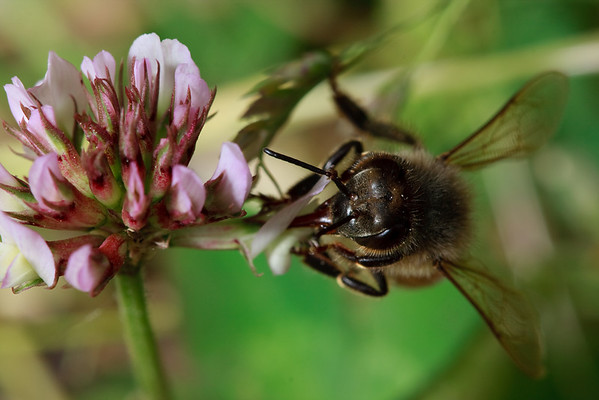 Carpenter bee, clover