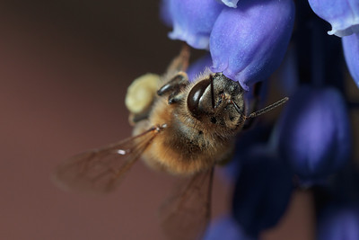 A honey bee loaded with pollen forages from a grape hyacinth flower.