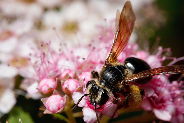 An Andrena mining bee, already laden with pollen, inspects a cluster of flowers.