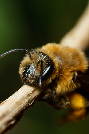 A miner bee, sapped of energy by a sudden drop in temperature, tries to warm herself in the sun.