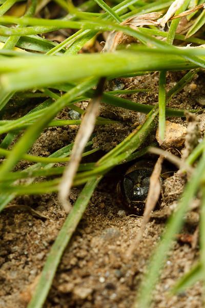A miner bee checks for danger before leaving her underground nest.