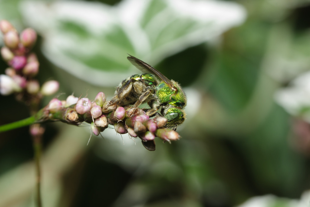 A green metallic bee (Agapostemon) searches for nectar on a flower.