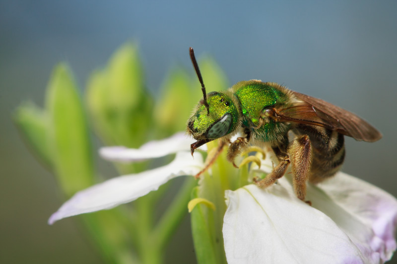 A green metallic sweat bee (<i>Agapostemon virescens</i>) grooms after collecting nectar from a flower.