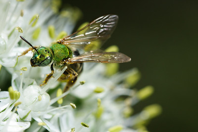 A green metallic sweat bee (Agapostemon virescens) gathers pollen.