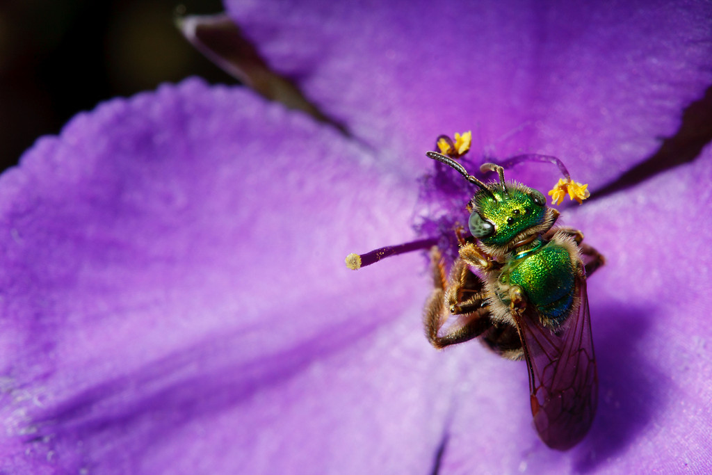 Green metallic bee (<i>Agapostemon virescens</i>)