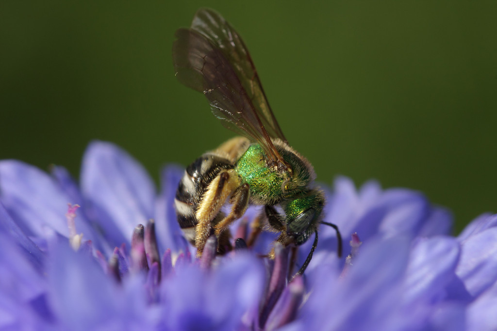 A green metallic bee (Agapostemon) arcs her back to get at a cornflower's pollen.
