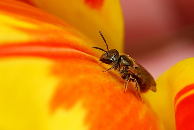A small bronze sweat bee visits a brightly colored tulip.