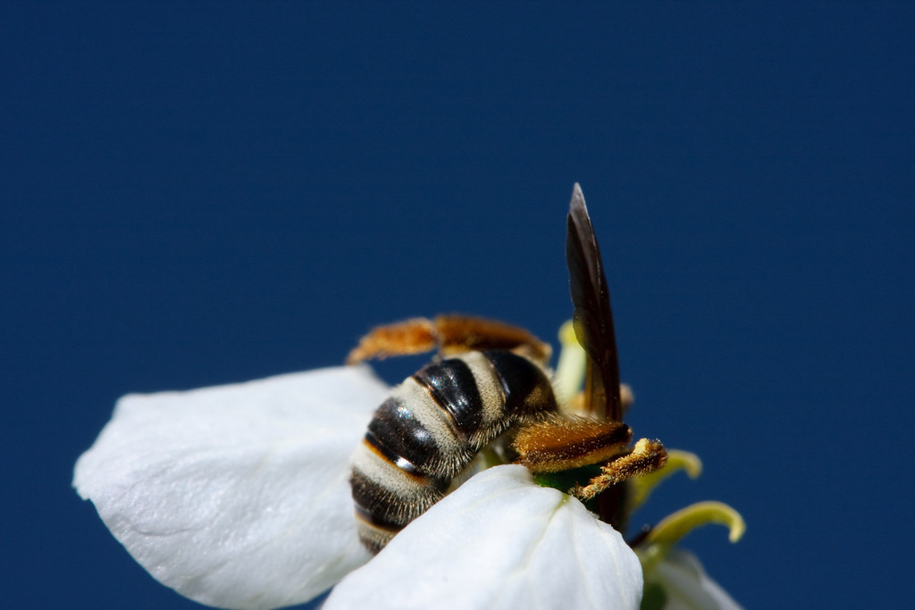 A green metallic bee (<i>Agapostemon virescens</i>) searches in a flower against a solid blue sky.