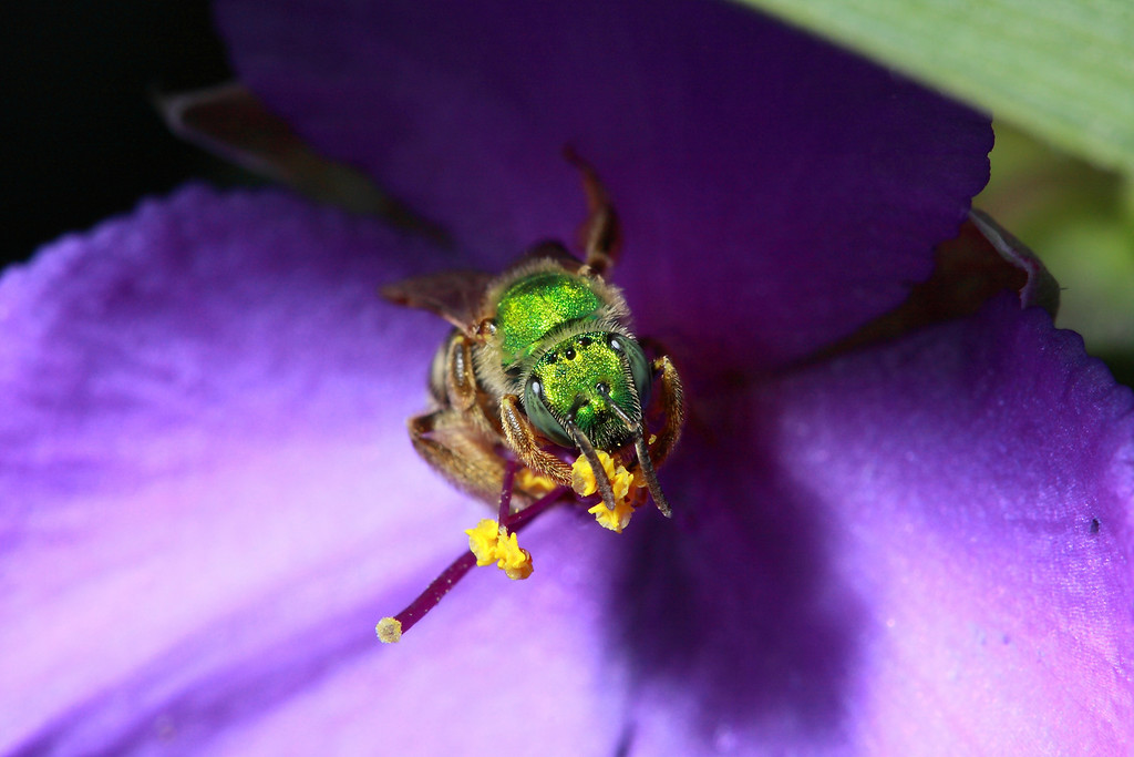 A green metallic bee (<i>Agapostemon virescens</i>) on a spiderwort flower, head-on.