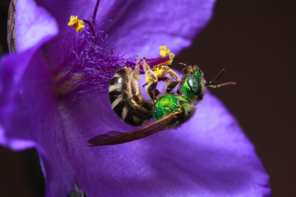 A green metallic sweat bee (<i>Agapostemon virescens</i>) grooms after collecting nectar from a spiderwort flower.