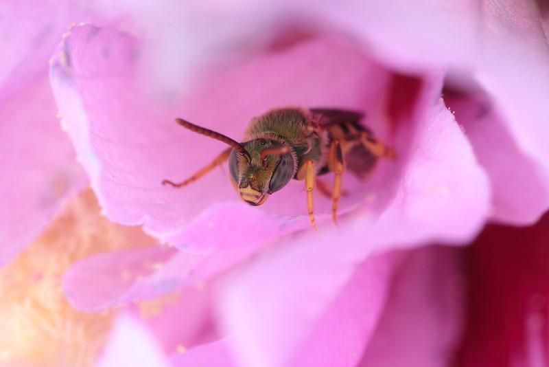 A green metallic bee (Agapostemon) rests inside a hollyhock flower.