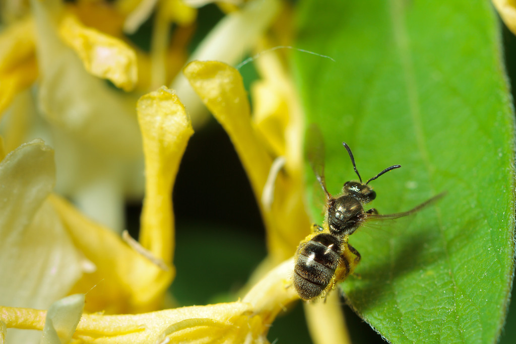 A sweat bee (Lassioglossum) takes off.