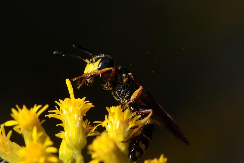 Cerceris wasp