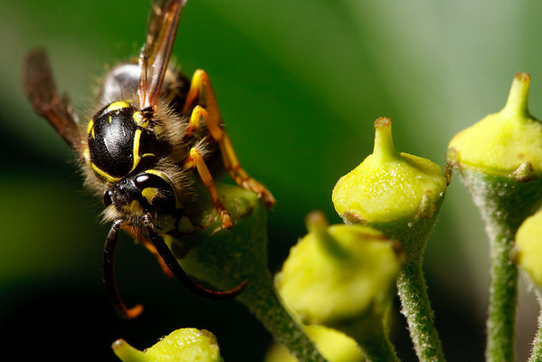 Common aerial yellowjacket