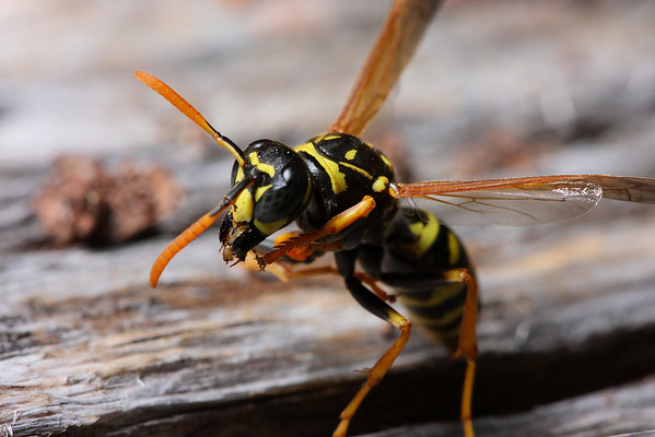 A European paper wasp (Polistes dominula) chews wood fiber it collects for its hive.
