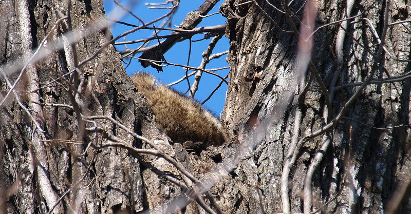 Someone is Napping in the Raccoon Tree
