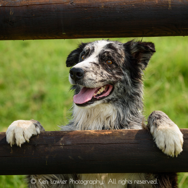 Happy dog on fence