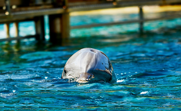Dolphin swimming above water