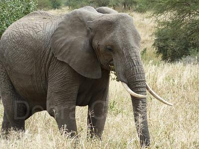 Elephant profile, Tarangire National Park, Tanzania, East Africa