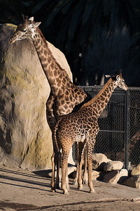 Mother and Calf Giraffe