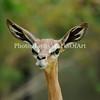 Waller's Gazelle