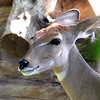 Female Lesser Kudu