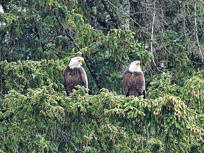 Bald Eagle Pair, Haines, Alaska