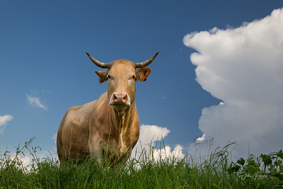 Cow, Gers