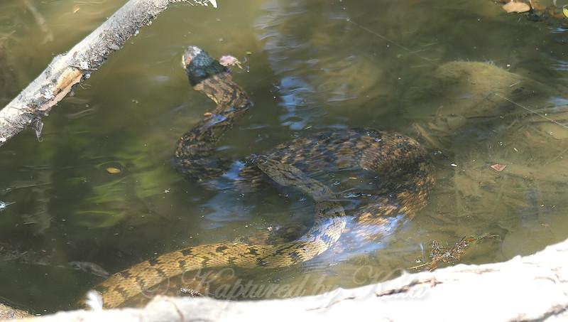 Diamondback Water Snake Mating Behavior 1