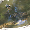 Diamondback Water Snake Mating Behavior 1