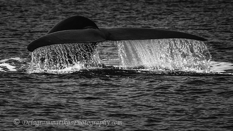 20110924_Whales & Dolphins_2383_BW