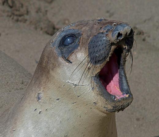 Elephant Seal, Piedras Blancas Marine Reserve, California