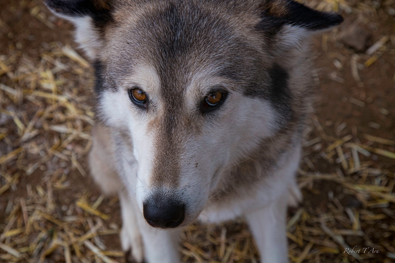 Portrait of a Wolf Number Five