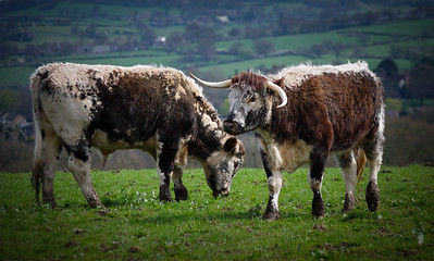 English Longhorns