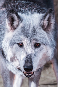 Portrait of a Wolf Number One