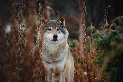 The Wolves of Norway
