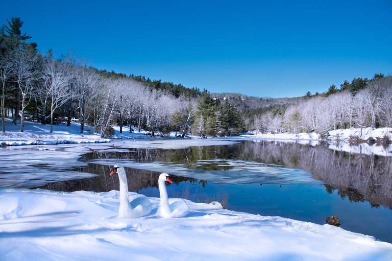 Winter scenery. Beautiful couple of swans  relaxing on the snow by the lake in frosted forest. Bass Lake, Blowing Rock, close to Blue Ridge Parkway, North Carolina, US