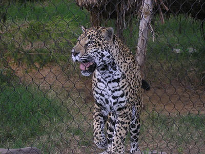 A leopard at the Ft Worth Zoo