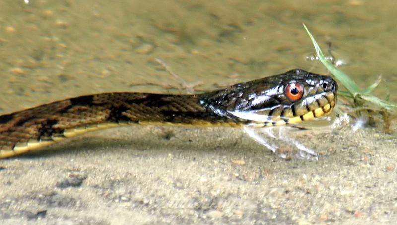 Baby Water Snake
