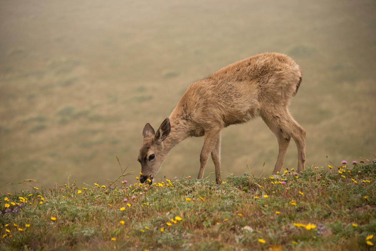 Elk Calf Eating Wildflowers
