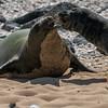 Fighting  Hawaiian monk seals