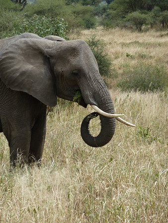 Elephant with curled trunk with tusks, Tarangire National Park, Tanzania, East Africa