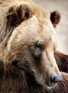Alaskan Brown (grizzly) bear