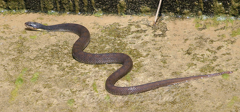 Plain-bellied Water Snake View 2