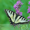 Swallowtail Butterfly on Purple Loosestrife - Horizontal