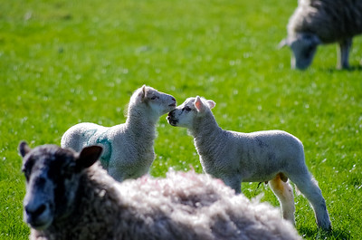 Lambs greeting